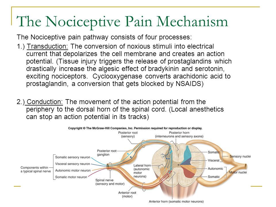 The Nociceptive Pain Mechanism (continued) 3.) Transmission: Neurotransmitters(substance P, glutamate, aspartate) are released from the nociceptor central terminus into the synapse between the nociceptor and the Dorsal Horn neurons, activating them.