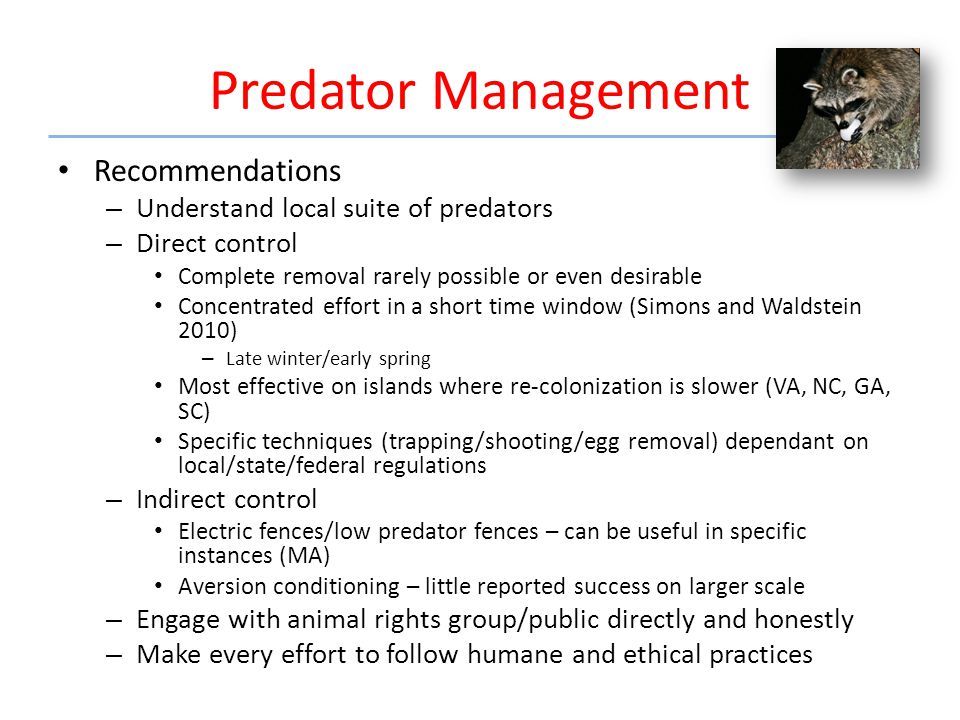 Predator Management Recommendations – Understand local suite of predators – Direct control Complete removal rarely possible or even desirable Concentrated effort in a short time window (Simons and Waldstein 2010) – Late winter/early spring Most effective on islands where re-colonization is slower (VA, NC, GA, SC) Specific techniques (trapping/shooting/egg removal) dependant on local/state/federal regulations – Indirect control Electric fences/low predator fences – can be useful in specific instances (MA) Aversion conditioning – little reported success on larger scale – Engage with animal rights group/public directly and honestly – Make every effort to follow humane and ethical practices