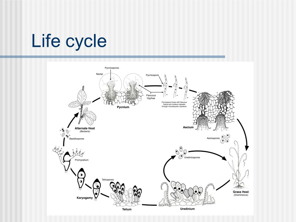 Fungal - Host interactions Effectors Trigger host defense response (Avirulence) Melampsora lini /Flax (Linum usitatissimum) AvrL567, AvrM, AvrP4, Avr123 Small (95-377 aa) Expressed in haustoria 1-4 copies per genome Secreted into plant host cytoplasm Cysteine-rich (AvrP4, AvrP123) Dodds et al., 2006 Plant Cell; Catanzariti et al., 2006 Plant Cell