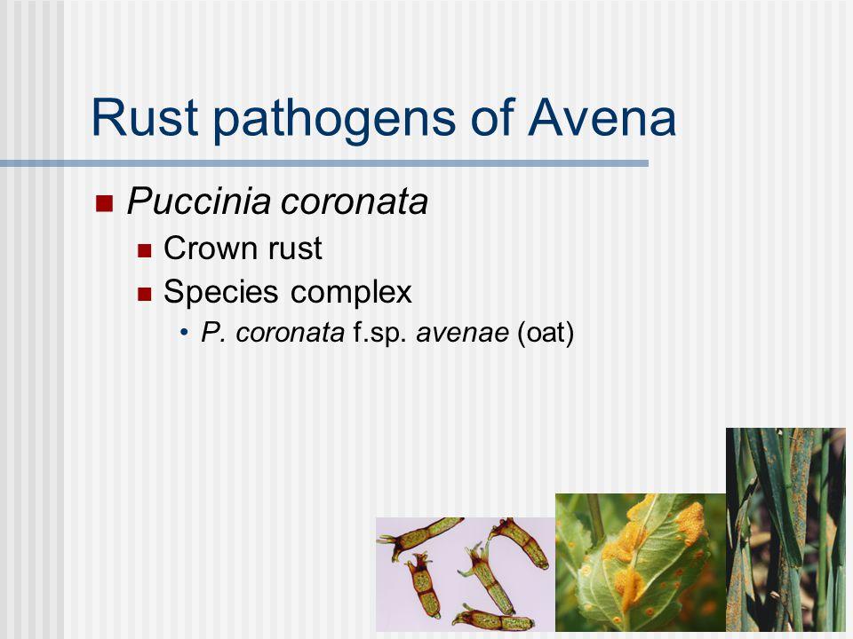 Rust pathogens of Avena Puccinia graminis Stem rust Species complex P.