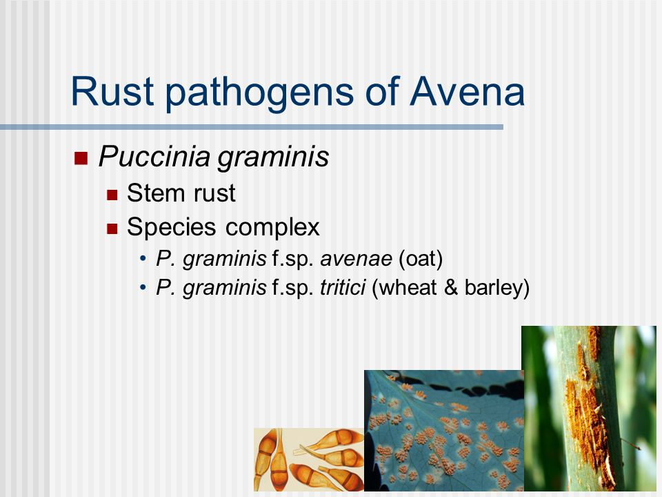 Rust pathogens of Avena Puccinia graminis Stem rust Species complex P.