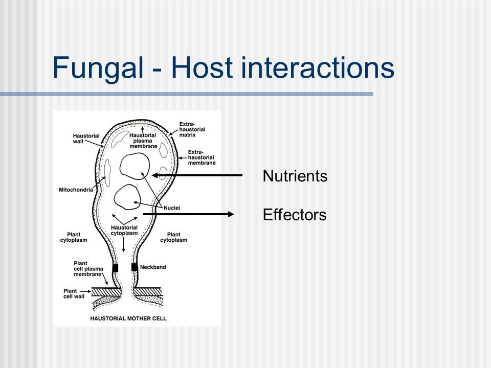 Fungal - Host interactions Nutrients Sugars Hexose transporter (Hxt1) Uromyces fabae/Vicia fabae Glucose and Fructose Haustoria membrane Voegele et al., 2001 PNAS
