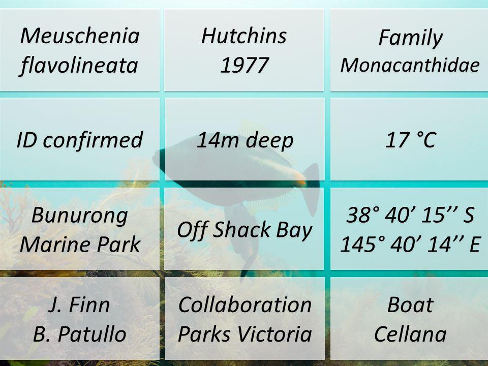 Meuschenia flavolineata Hutchins 1977 Hutchins 1977 Family Monacanthidae ID confirmed 14m deep 17 °C Bunurong Marine Park Off Shack Bay 38° 40 15 S 14