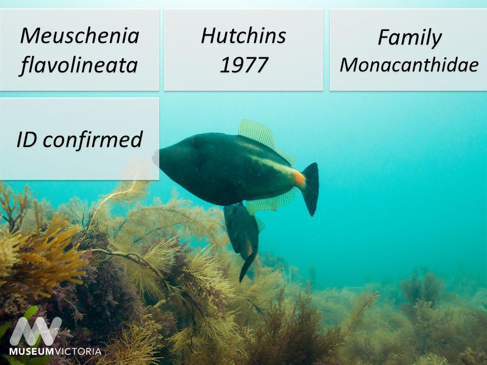 Meuschenia flavolineata Hutchins 1977 Hutchins 1977 Family Monacanthidae ID confirmed