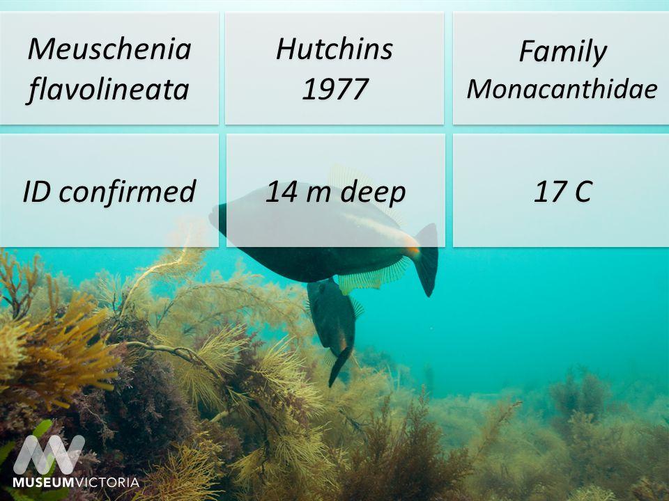 Meuschenia flavolineata Hutchins 1977 Hutchins 1977 Family Monacanthidae ID confirmed 14 m deep 17 C Bunurong Marine Park Off Shack Bay 38° 40 15 S 145° 40 14 E 38° 40 15 S 145° 40 14 E