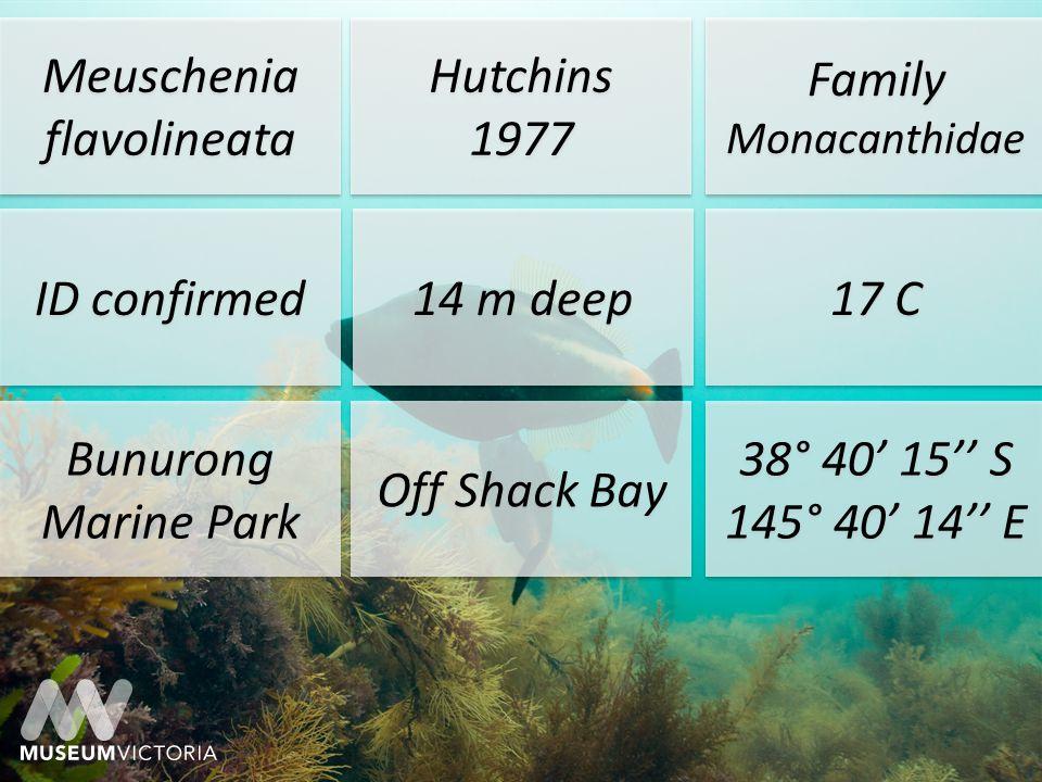 Meuschenia flavolineata Hutchins 1977 Hutchins 1977 Family Monacanthidae ID confirmed 14m deep 17 °C Bunurong Marine Park Off Shack Bay 38° 40 15 S 145° 40 14 E 38° 40 15 S 145° 40 14 E J.