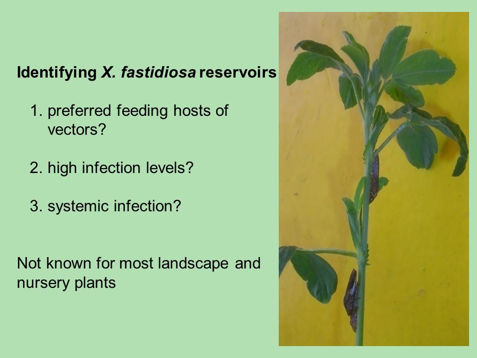 Identifying X. fastidiosa reservoirs 1. preferred feeding hosts of vectors? 2. high infection levels? 3. systemic infection? Not known for most landsc