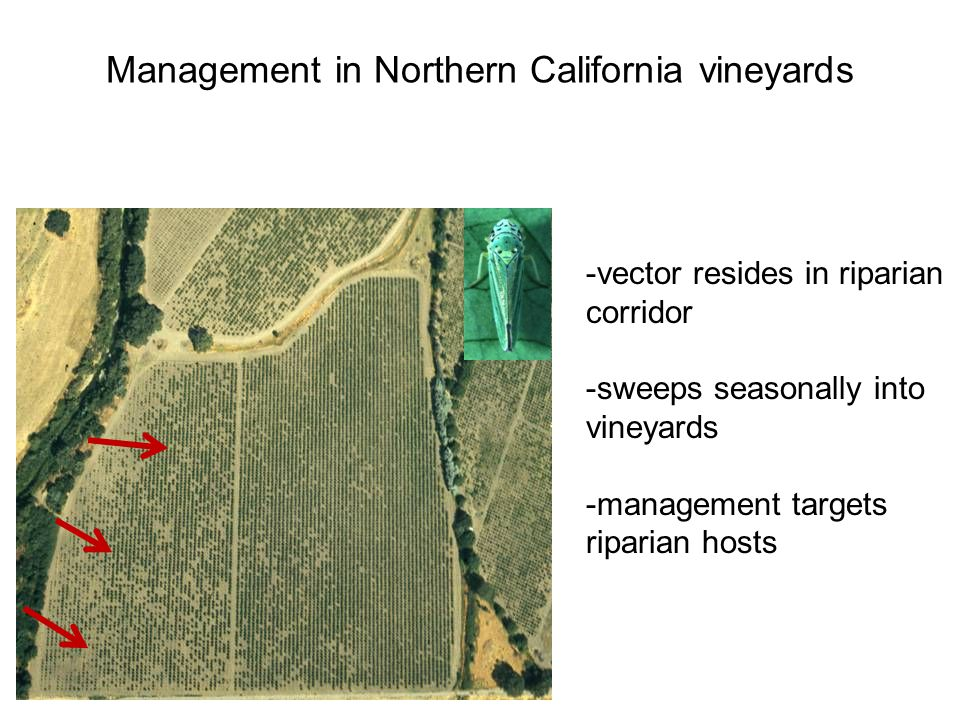 Management in Northern California vineyards -vector resides in riparian corridor -sweeps seasonally into vineyards -management targets riparian hosts