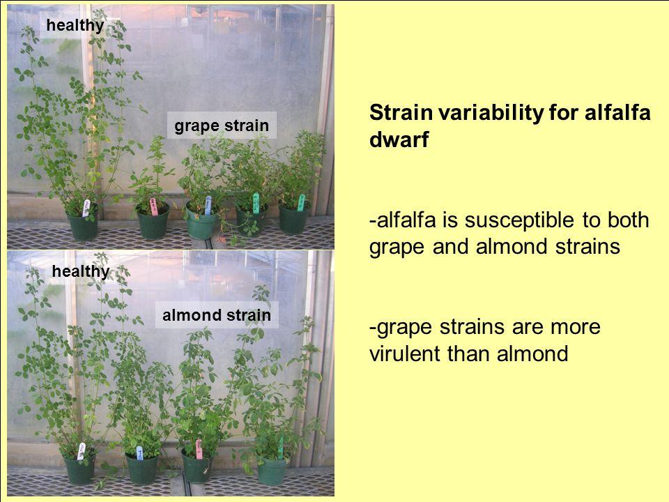 healthy grape strain healthy almond strain Strain variability for alfalfa dwarf -alfalfa is susceptible to both grape and almond strains -grape strain