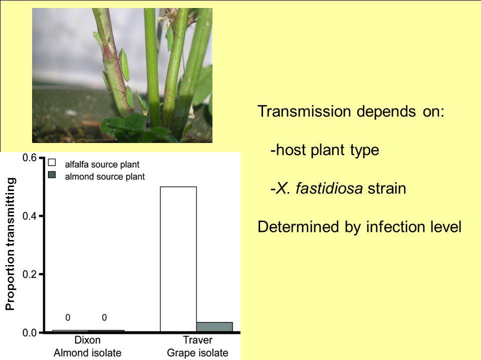 Transmission depends on: -host plant type -X. fastidiosa strain Determined by infection level Proportion transmitting