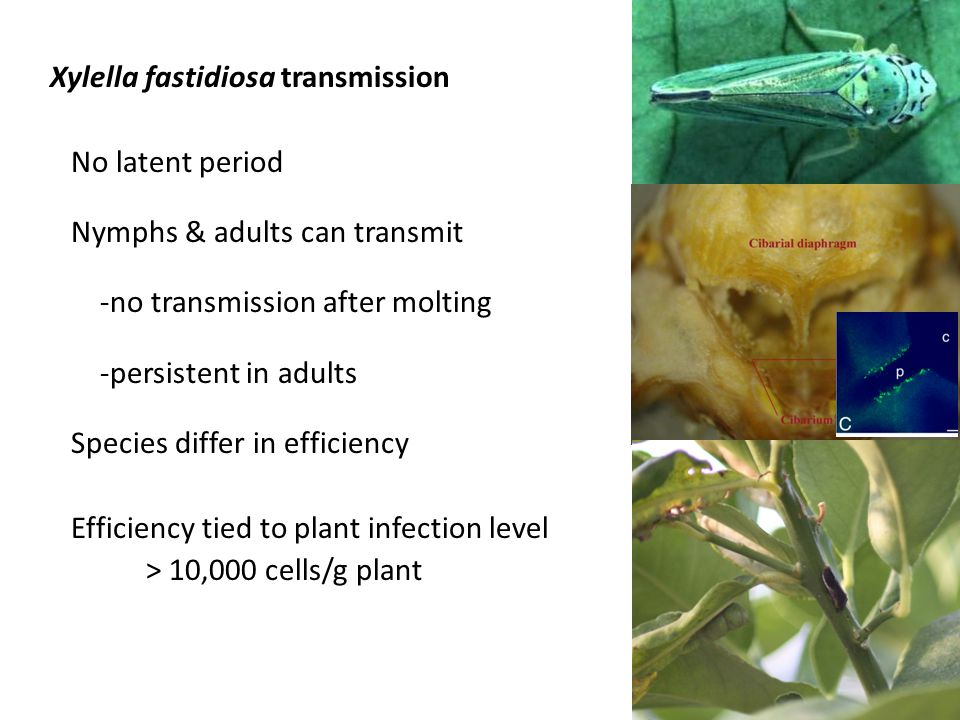 Xylella fastidiosa transmission No latent period Nymphs & adults can transmit -no transmission after molting -persistent in adults Species differ in e