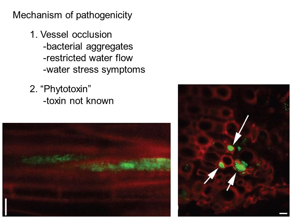 1. Vessel occlusion -bacterial aggregates -restricted water flow -water stress symptoms 2. Phytotoxin -toxin not known Mechanism of pathogenicity