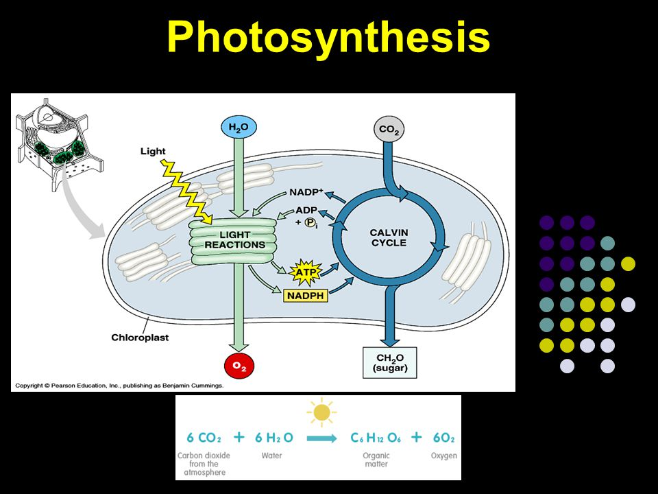 Conclusion What is cellular respiration.What is the formula for photosynthesis.