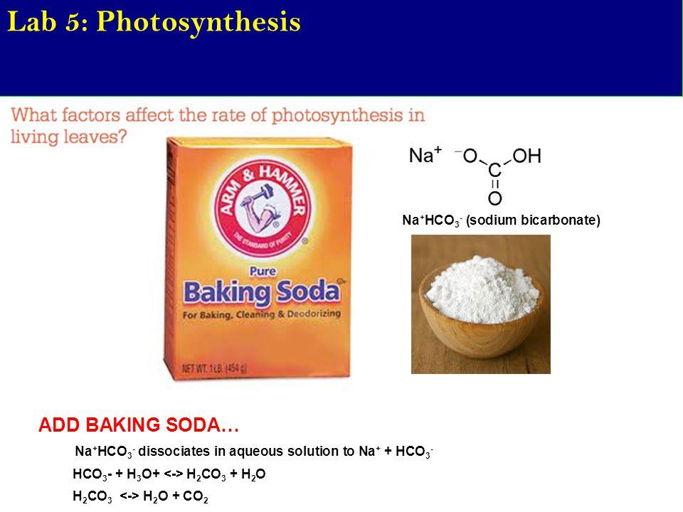 Lab 5: Photosynthesis ADD BAKING SODA… Na + HCO 3 - dissociates in aqueous solution to Na + + HCO 3 - HCO 3 - + H 3 O+ H 2 CO 3 + H 2 O H 2 CO 3 H 2 O