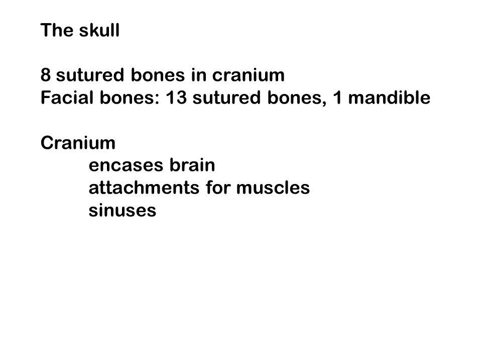 The skull 8 sutured bones in cranium Facial bones: 13 sutured bones, 1 mandible Cranium encases brain attachments for muscles sinuses