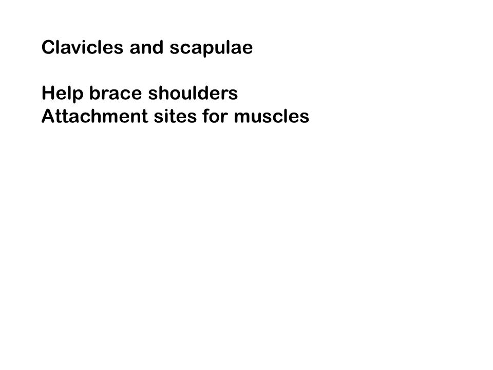 Clavicles and scapulae Help brace shoulders Attachment sites for muscles