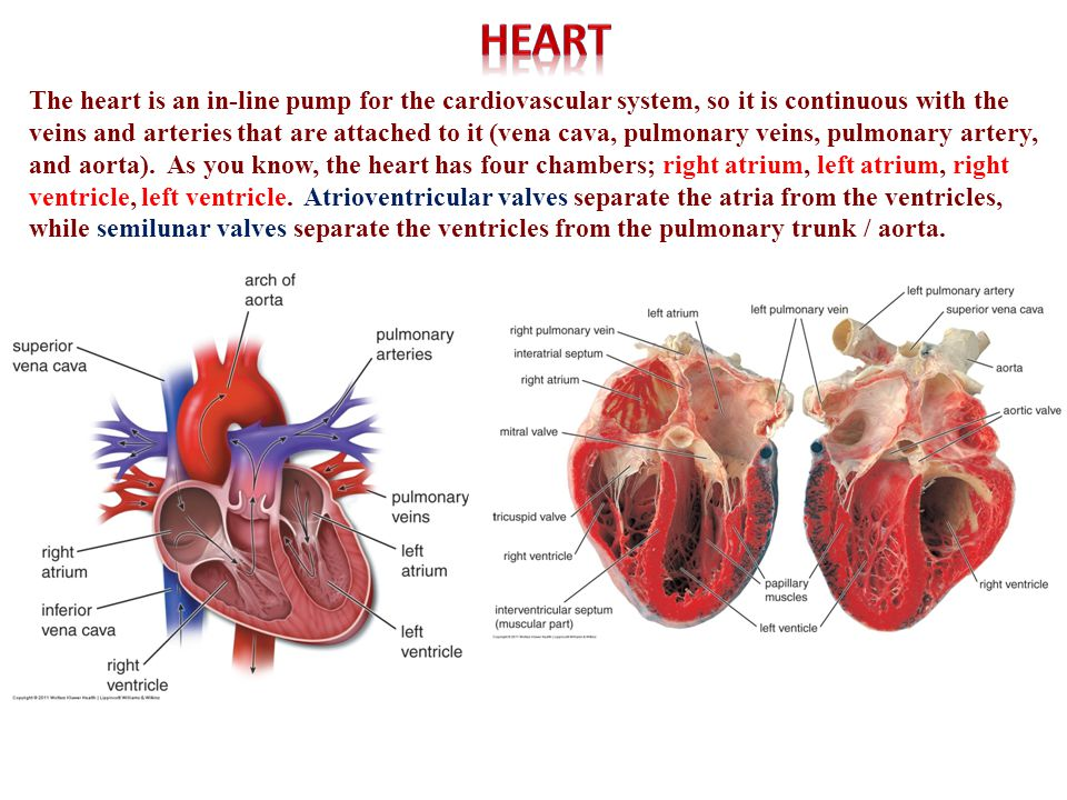 The heart is an in-line pump for the cardiovascular system, so it is continuous with the veins and arteries that are attached to it (vena cava, pulmonary veins, pulmonary artery, and aorta).