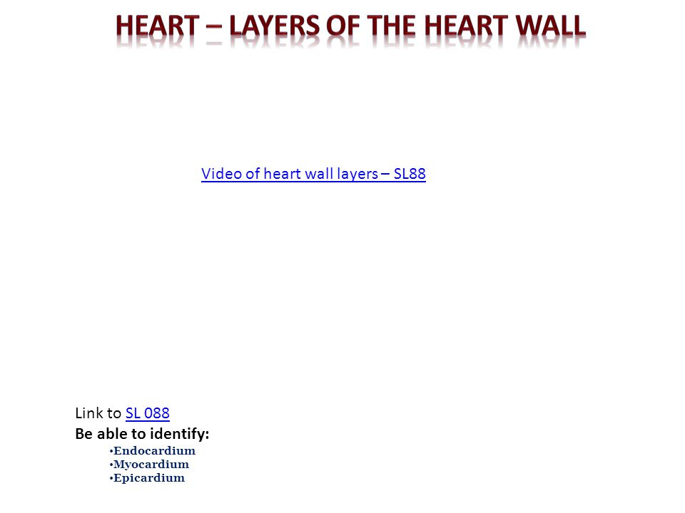 Video of heart wall layers – SL88 Link to SL 088SL 088 Be able to identify: Endocardium Myocardium Epicardium