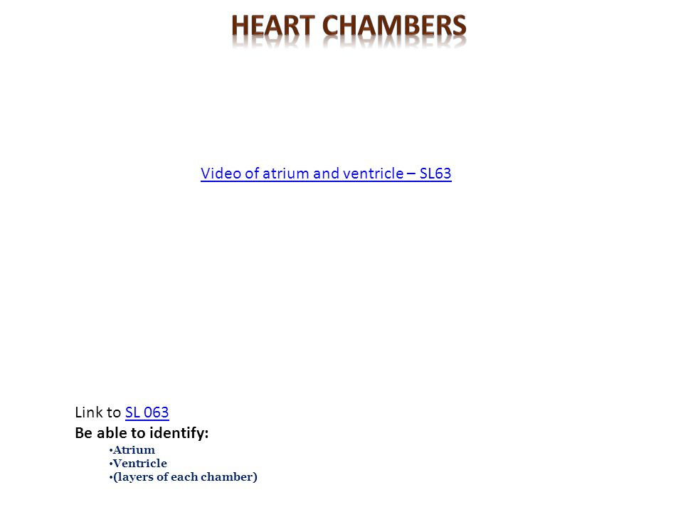 Video of atrium and ventricle – SL63 Link to SL 063SL 063 Be able to identify: Atrium Ventricle (layers of each chamber)