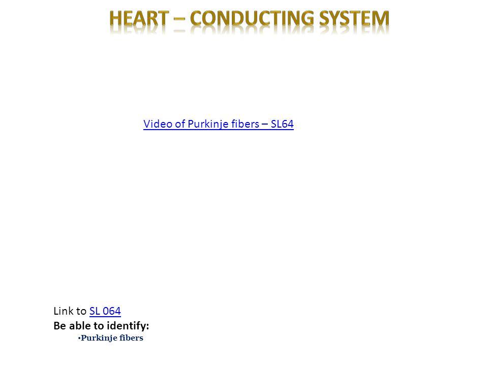 Video of Purkinje fibers – SL64 Link to SL 064SL 064 Be able to identify: Purkinje fibers