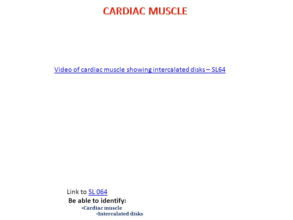 Video of cardiac muscle showing intercalated disks – SL64 Link to SL 064SL 064 Be able to identify: Cardiac muscle Intercalated disks