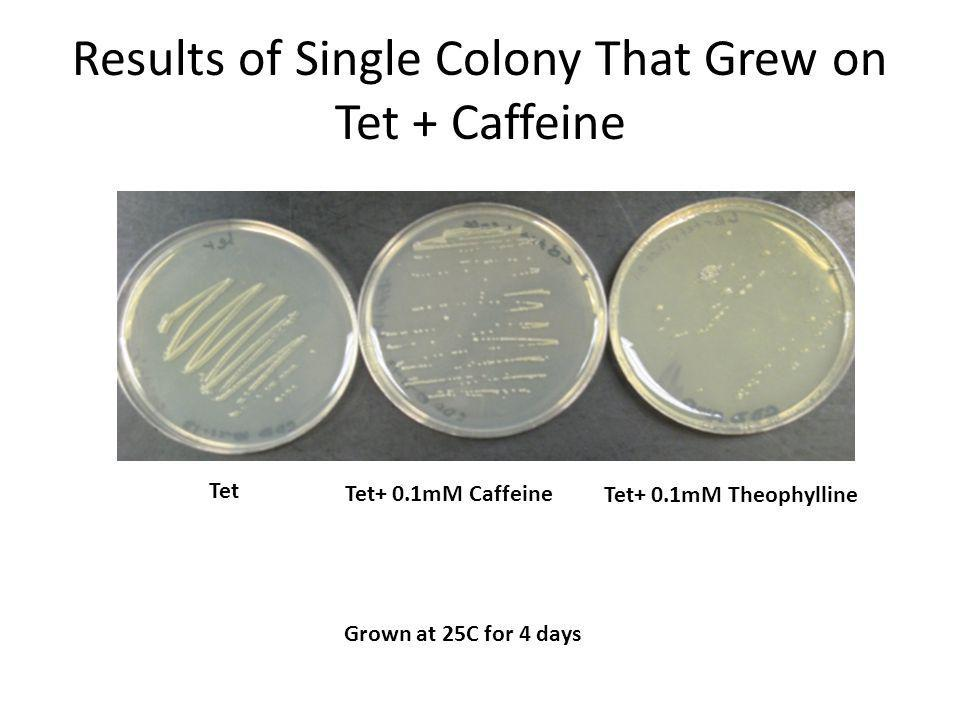 Tet Tet+ 0.1mM Caffeine Tet+ 0.1mM Theophylline Results of Single Colony That Grew on Tet + Caffeine Grown at 25C for 4 days