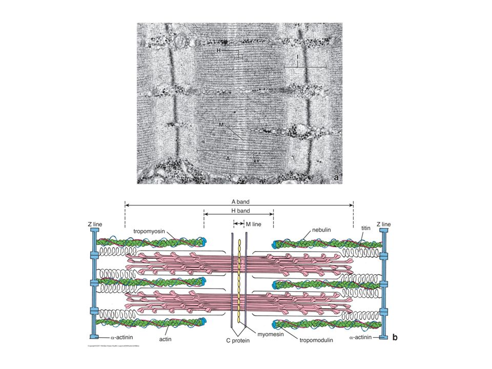 Molecular organization of myofilaments Thin filaments are composed of F-actin, tropomyosin, troponin, and associated proteins.