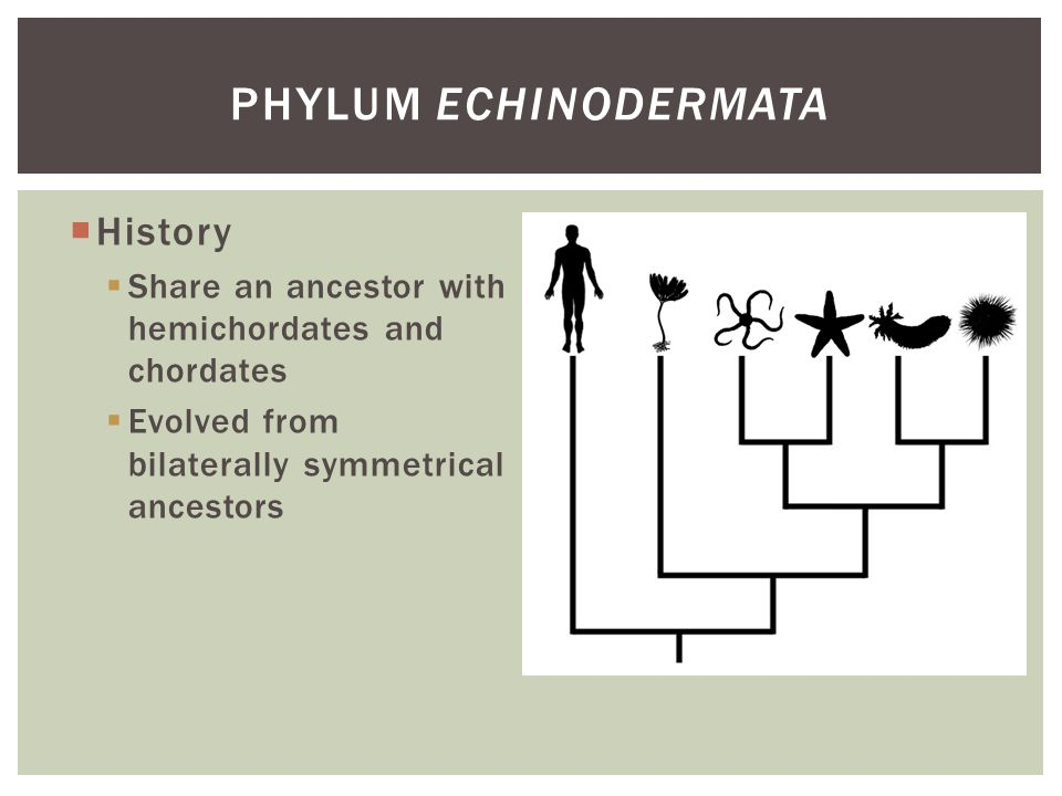 History Share an ancestor with hemichordates and chordates Evolved from bilaterally symmetrical ancestors PHYLUM ECHINODERMATA