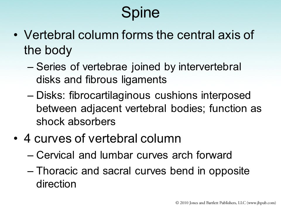 Spine Vertebral column forms the central axis of the body –Series of vertebrae joined by intervertebral disks and fibrous ligaments –Disks: fibrocarti