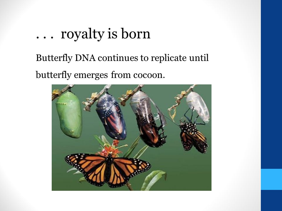 Butterfly DNA continues to replicate until butterfly emerges from cocoon.... royalty is born