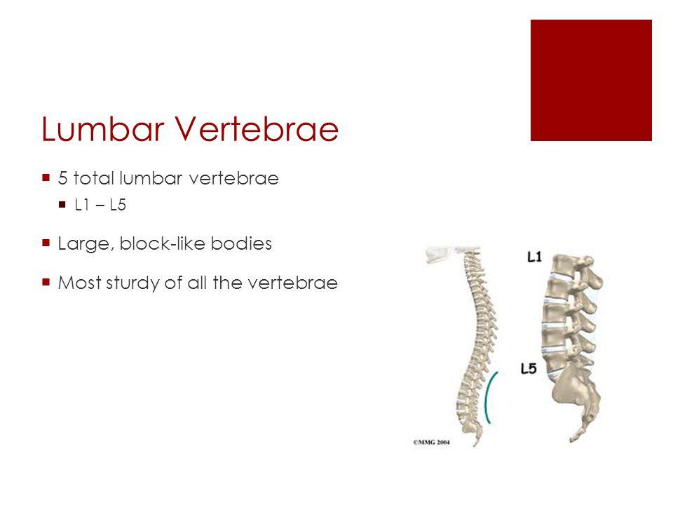 Lumbar Vertebrae 5 total lumbar vertebrae L1 – L5 Large, block-like bodies Most sturdy of all the vertebrae