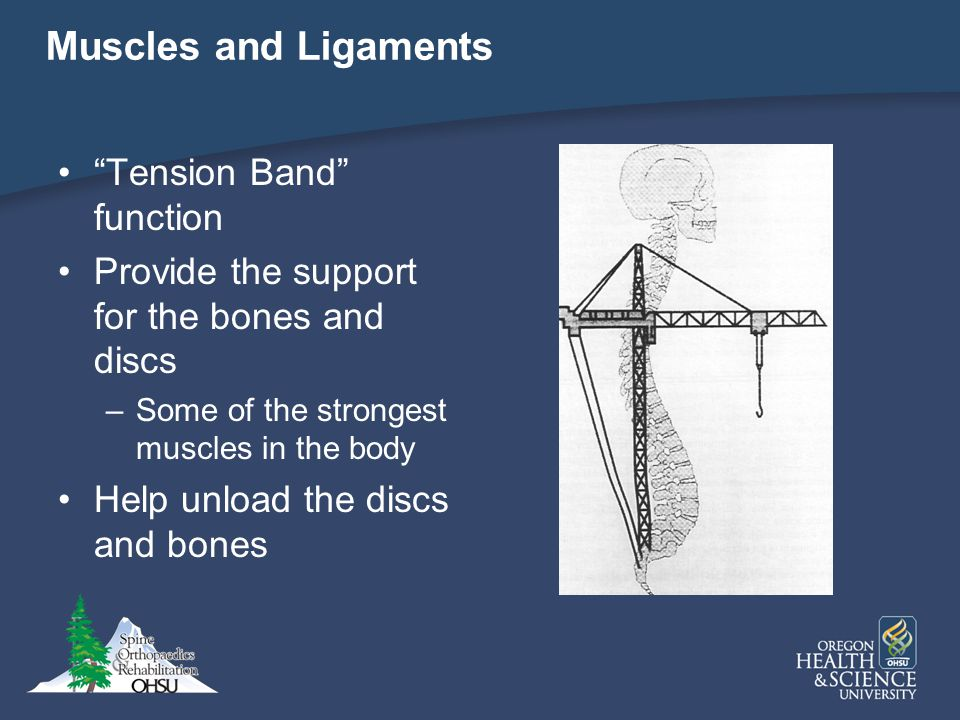 Muscles and Ligaments Tension Band function Provide the support for the bones and discs –Some of the strongest muscles in the body Help unload the dis
