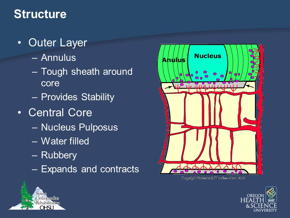 Structure Outer Layer –Annulus –Tough sheath around core –Provides Stability Central Core –Nucleus Pulposus –Water filled –Rubbery –Expands and contra