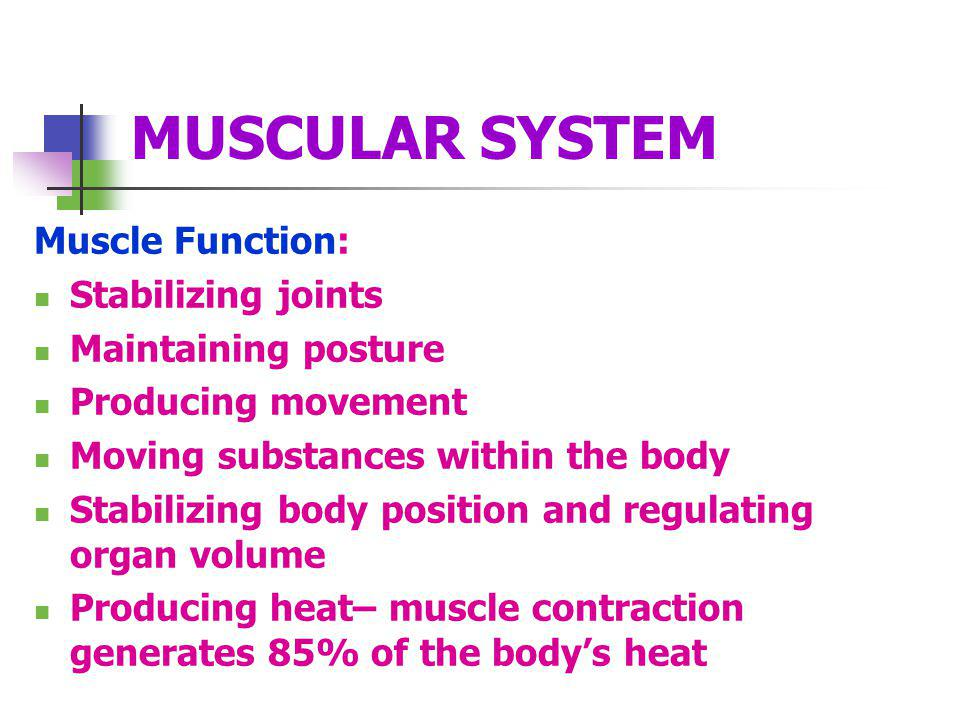 MUSCULAR SYSTEM Muscle Function: Stabilizing joints Maintaining posture Producing movement Moving substances within the body Stabilizing body position and regulating organ volume Producing heat– muscle contraction generates 85% of the bodys heat