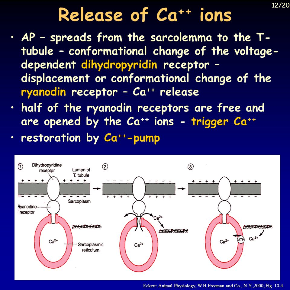 Release of Ca ++ ions Eckert: Animal Physiology, W.H.Freeman and Co., N.Y.,2000, Fig.