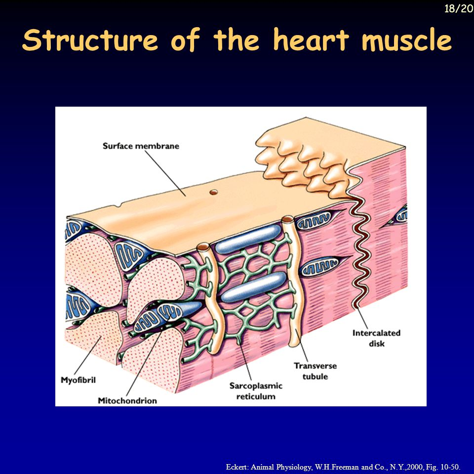 Structure of the heart muscle Eckert: Animal Physiology, W.H.Freeman and Co., N.Y.,2000, Fig.