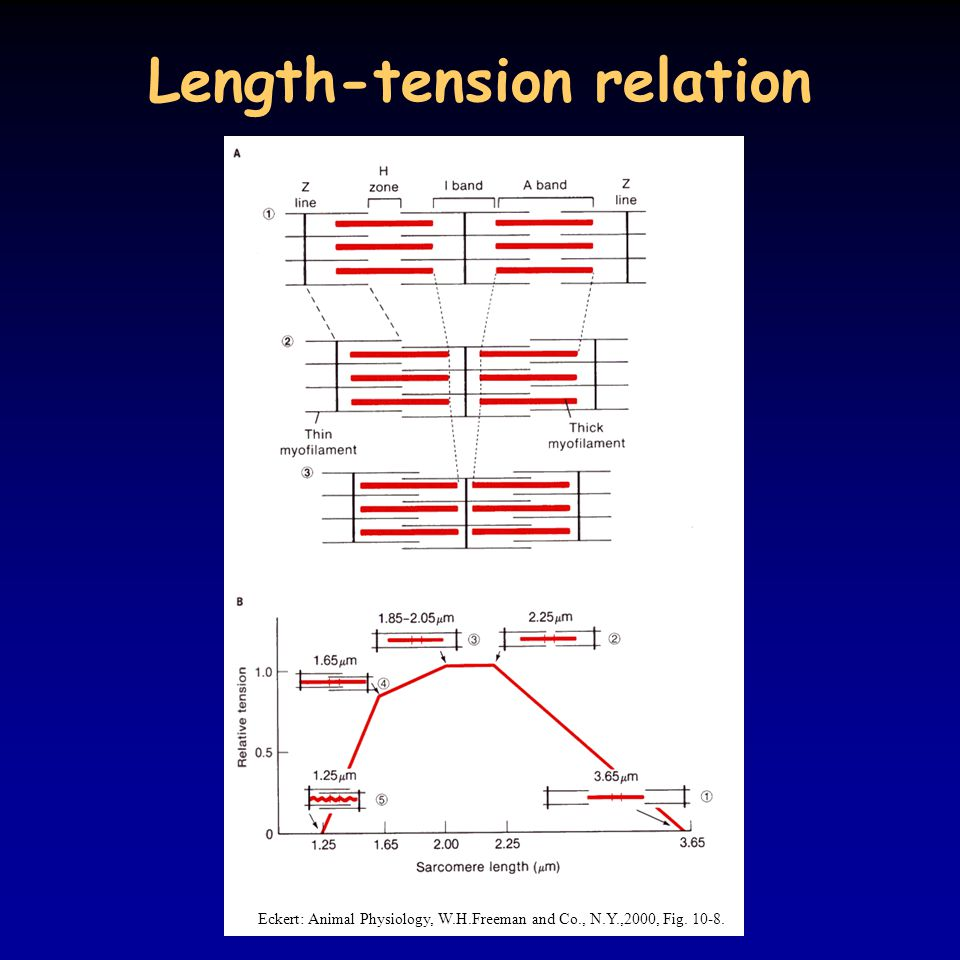Length-tension relation Eckert: Animal Physiology, W.H.Freeman and Co., N.Y.,2000, Fig. 10-8.