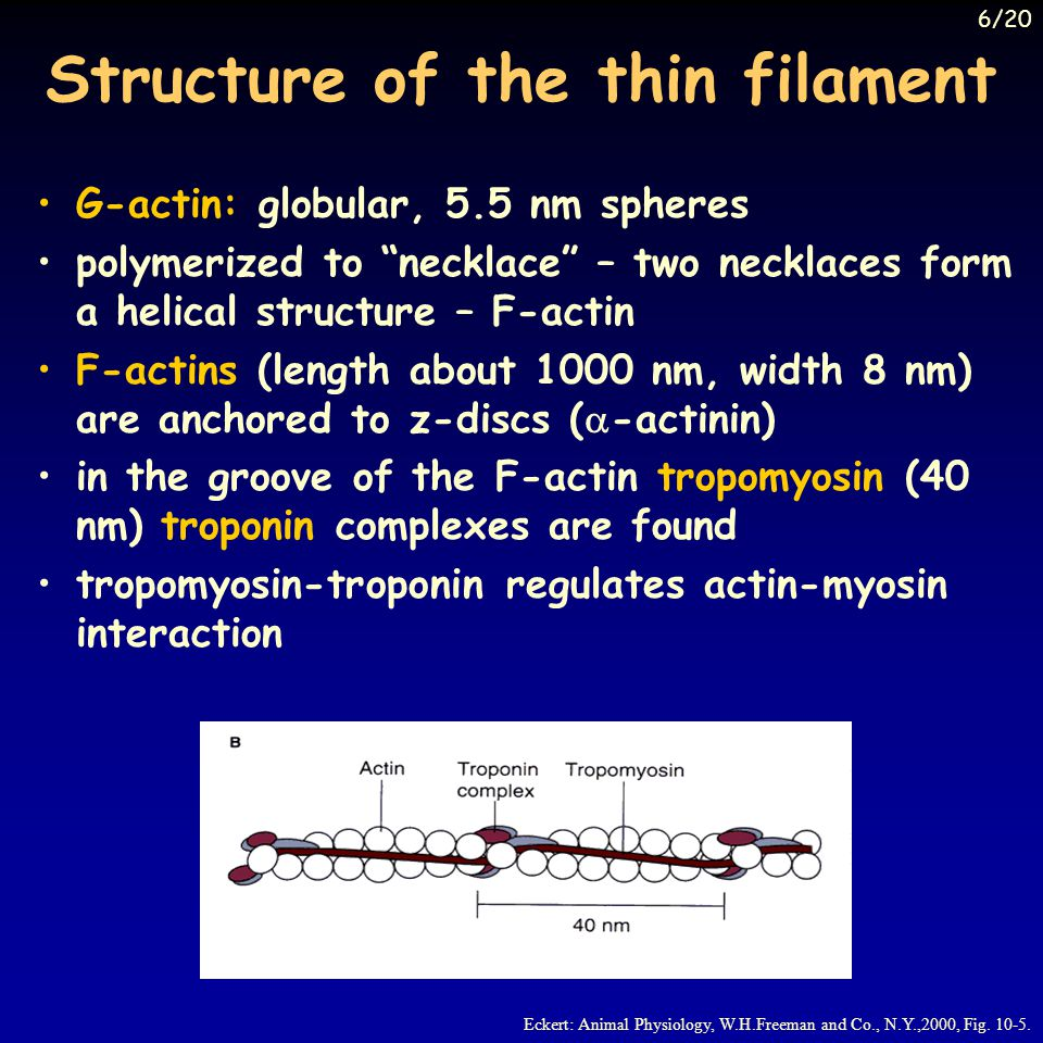 Structure of the thin filament G-actin: globular, 5.5 nm spheres polymerized to necklace – two necklaces form a helical structure – F-actin F-actins (length about 1000 nm, width 8 nm) are anchored to z-discs ( -actinin) in the groove of the F-actin tropomyosin (40 nm) troponin complexes are found tropomyosin-troponin regulates actin-myosin interaction Eckert: Animal Physiology, W.H.Freeman and Co., N.Y.,2000, Fig.