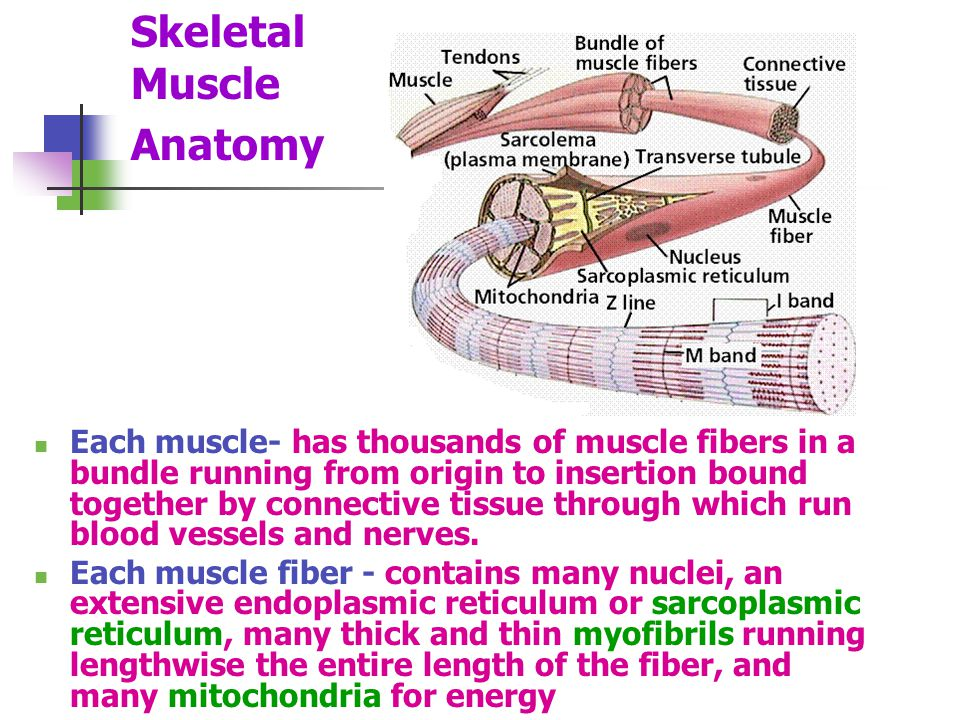 Skeletal Muscle Anatomy Each muscle- has thousands of muscle fibers in a bundle running from origin to insertion bound together by connective tissue through which run blood vessels and nerves.