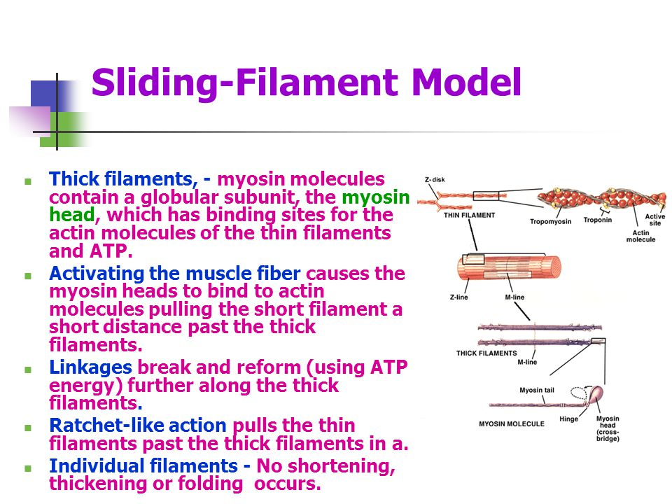 Sliding-Filament Model Thick filaments, - myosin molecules contain a globular subunit, the myosin head, which has binding sites for the actin molecule
