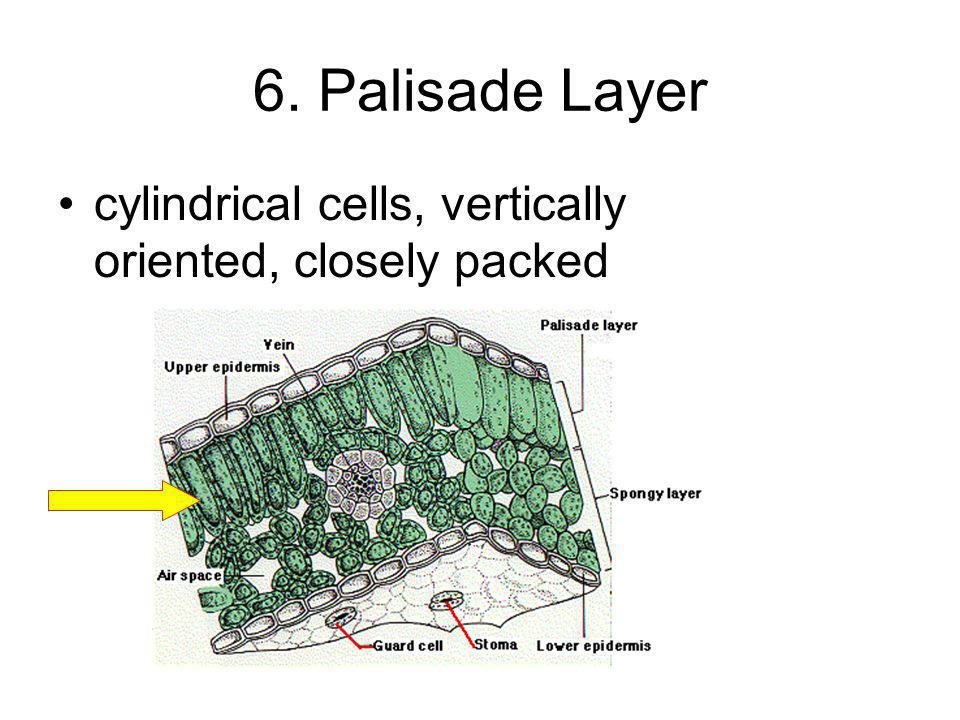 6. Palisade Layer cylindrical cells, vertically oriented, closely packed