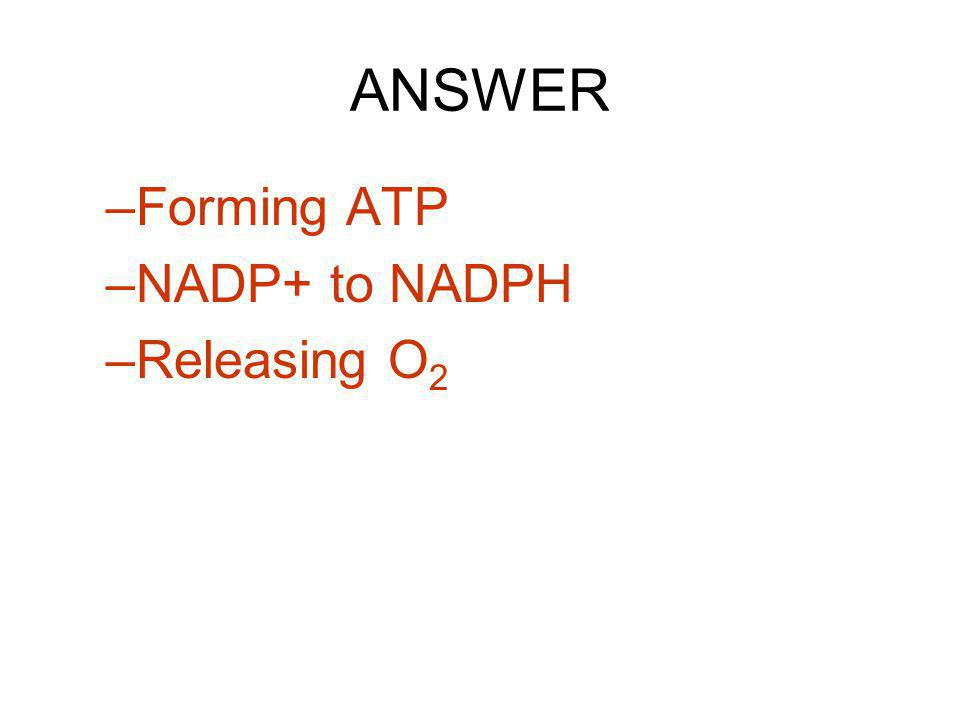 ANSWER –Forming ATP –NADP+ to NADPH –Releasing O 2