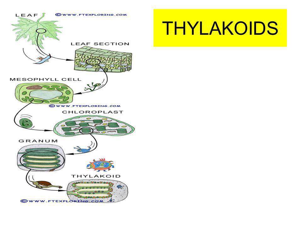 THYLAKOIDS
