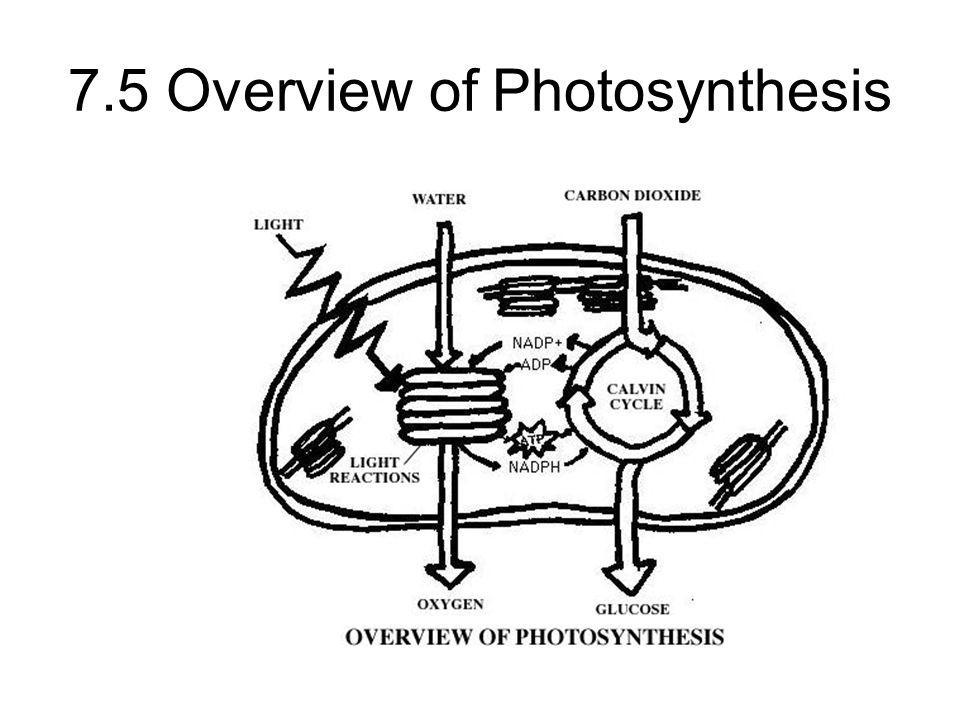 7.5 Overview of Photosynthesis