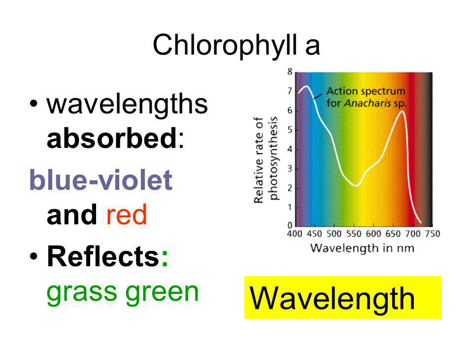 Chlorophyll a wavelengths absorbed: blue-violet and red Reflects: grass green Wavelength