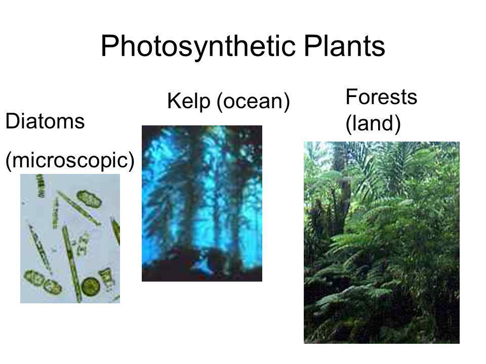 Photosynthetic Plants Diatoms (microscopic) Kelp (ocean) Forests (land)