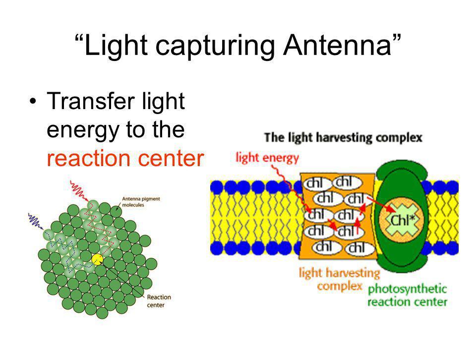 Light capturing Antenna Transfer light energy to the reaction center