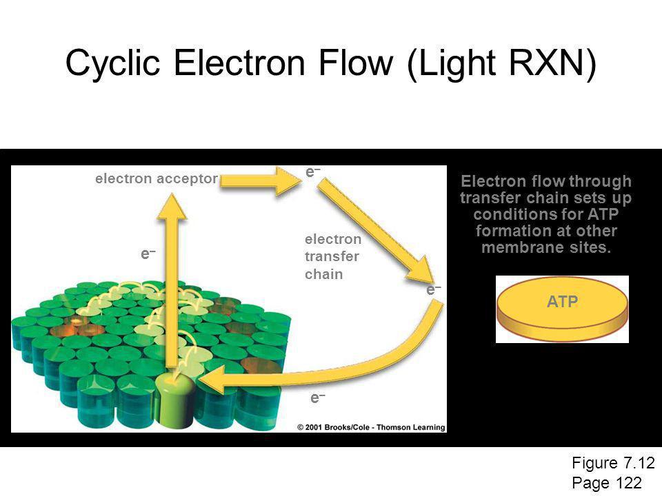 Cyclic Electron Flow (Light RXN) electron acceptor electron transfer chain e–e– e–e– e–e– e–e– ATP Electron flow through transfer chain sets up condit