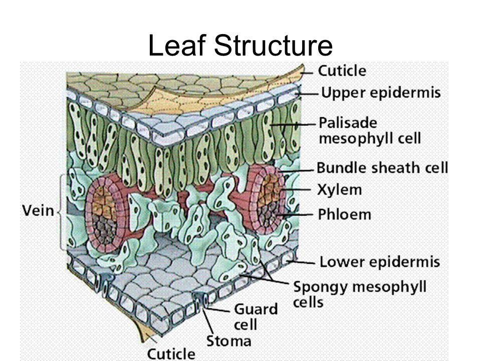 Leaf Structure
