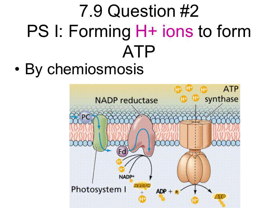 7.9 Question #2 PS I: Forming H+ ions to form ATP By chemiosmosis